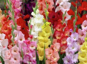 Царь-цветок: сажаем гладиолусы