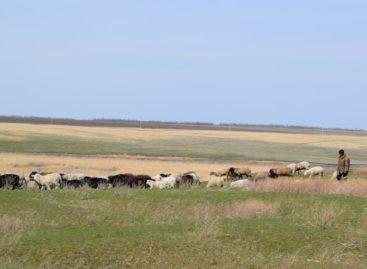 Владельцу отары овец в Сальском районе грозит штраф