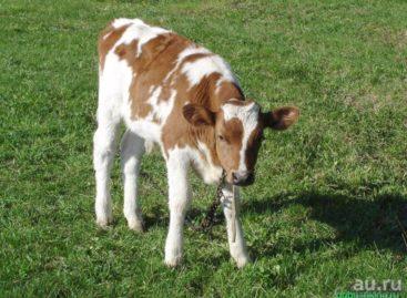 В Сальском районе у хозяйки украли теленка