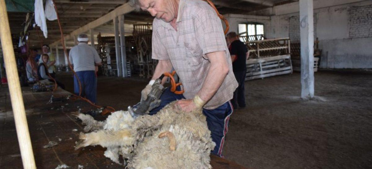 В Сальском районе приступили к сезонной стрижке овец