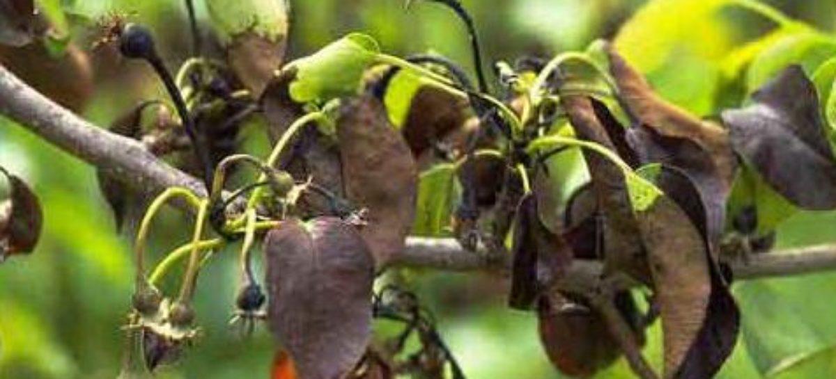 Почему листья груши буреют и сворачиваются в трубочку