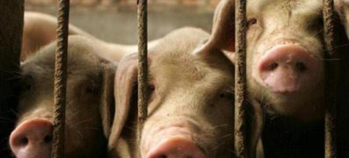 Вспышка африканской чумы свиней зафиксирована рядом с Сальским районом
