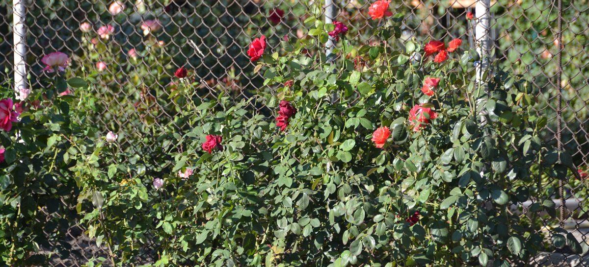 «Я люблю этот город»: цветы со всего Сальска!
