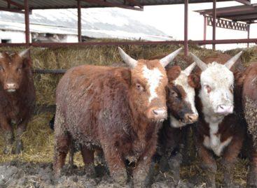 В Сальском районе на 20% выросло производство молока и мяса