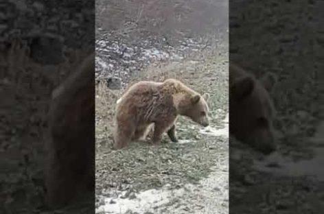 Под Развильным вдоль трассы разгуливал медведь