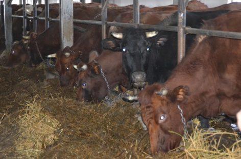 В «Руси» завершают зимовку крупного рогатого скота