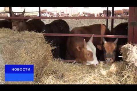 Фермер из Ивановки выращивает бычков