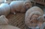 Сальские бараны завоевали в Астрахани два «золота»