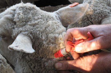 Сальские ветеринары предупреждают овцеводов о случаях опасного заболевания овец в Ростовской области