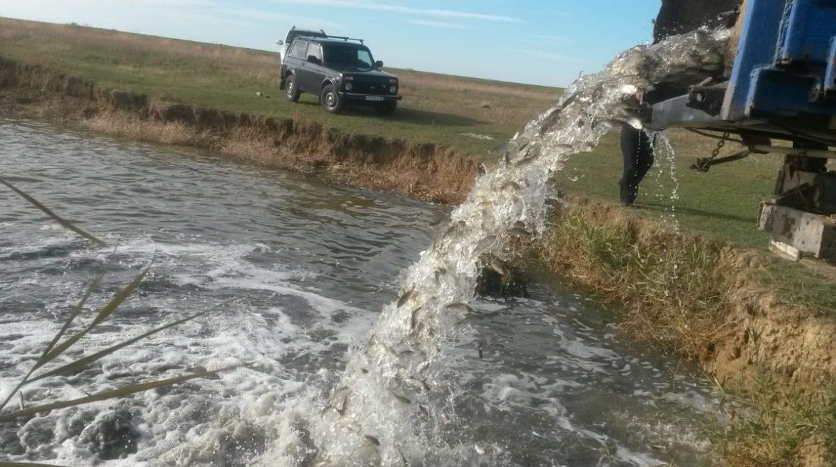 «Сальский рыбовод» выпустил в водоём больше тонны молодняка рыбы