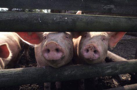 Африканская чума свиней снова выявлена недалеко от Сальского района