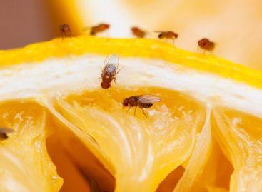 Не покупайте перезревшие и подгнившие фрукты: в них может жить опасный для здоровья вредитель