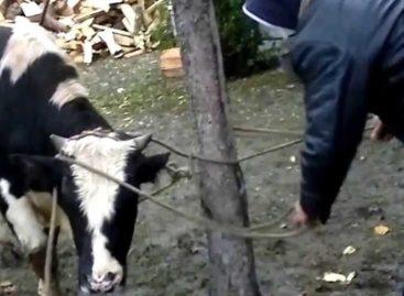 Со двора жителя Сальского района увели корову и гусей