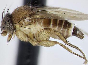 Муха-горбатка: что сальчанам нужно знать об опасном насекомом