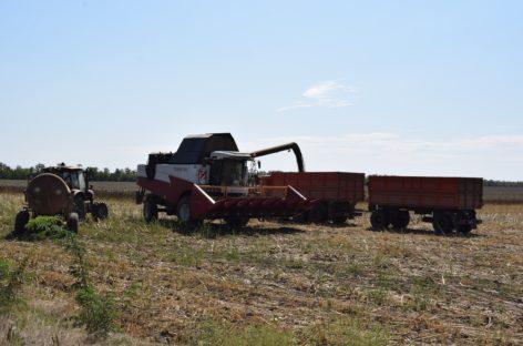 Аграрии Сальского района убирают поздние культуры и ведут сев озимых