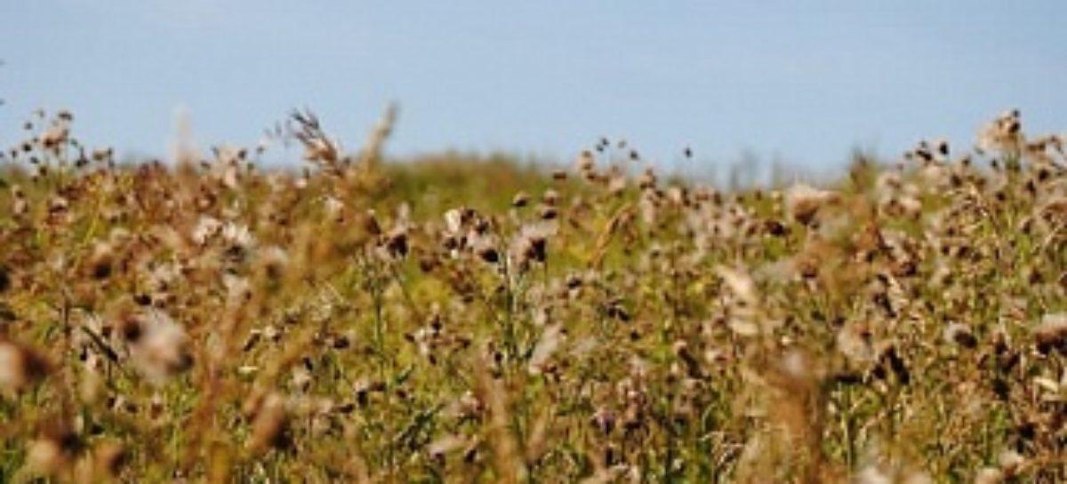 Хозяйству «Аграрий» в Сальском районе выписали штраф на 200 тысяч рублей за сорняки