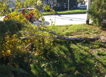 Сальчане просят убрать упавшее дерево по улице Ленина