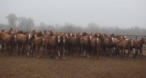 Как живёт единственный в России племконезавод по разведению лошадей донской породы?