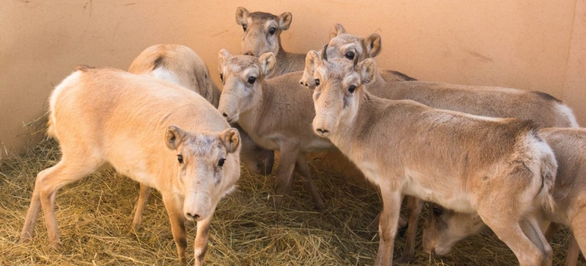 Восемь сайгаков выпустили в полувольные условия в Орловском районе