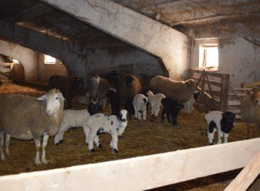 В сельхозпредприятии «Русь» полным ходом идут растёл и окот сельхозживотных