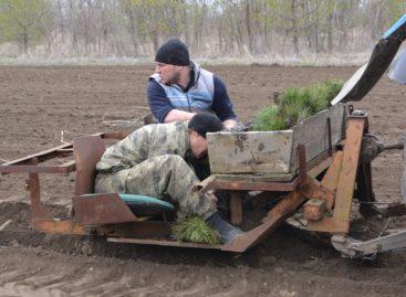 Плюс три тысячи сосен появилось в сальском лесхозе