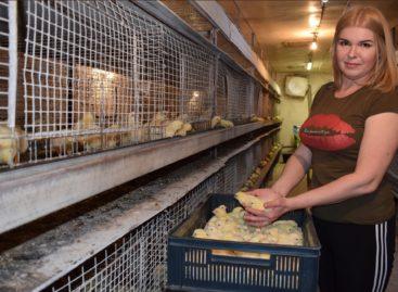 На птичьей ферме Натальи Мартынюк подрастают цыплята и не только