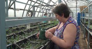 В теплицах городского парка готовят около 30 тысяч растений для клумб