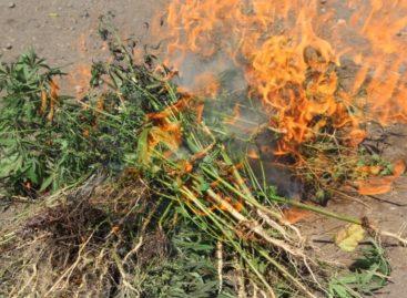 Уберечь земляков от наркотиков: сальчан просят сообщать об очагах дикорастущей конопли
