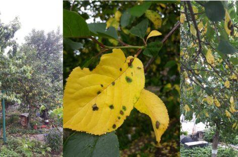 Сальчане спрашивают: почему в июне с плодовых деревьев начали опадать листья?