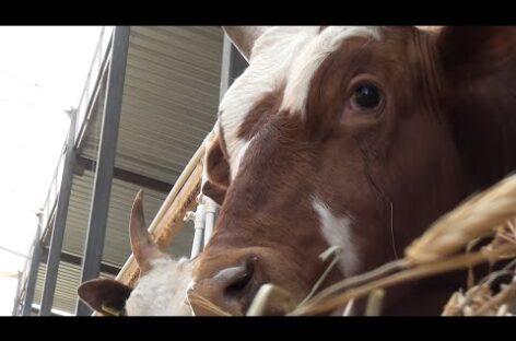 Новая ферма появилась в Сандате: сейчас на ней растут 90 молодых бычков