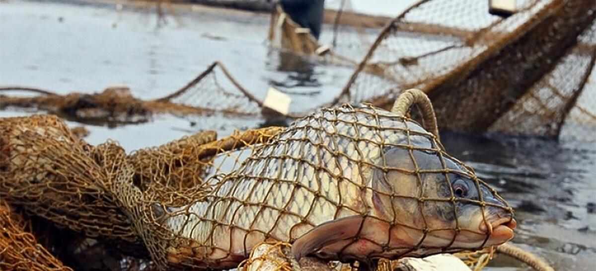 За карасей, линя и раков сальским рыбакам грозят неприятности