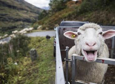 В Сальском районе участились случаи кражи коров и ягнят