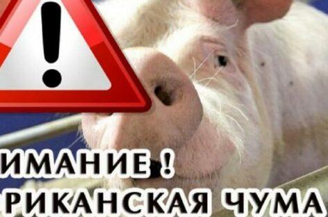 На Дону новая вспышка африканской чумы свиней, — сальские ветеринары напоминают об опасности болезни