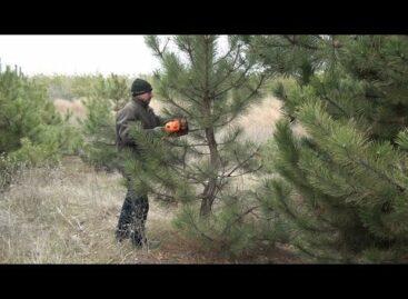 С елкой в Новый год: сальский лесхоз готовит сосны к празднику
