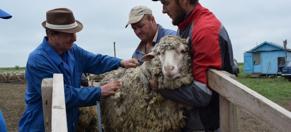 Экзамен на качество в «Белозёрном»: как прошла бонитировка овец?