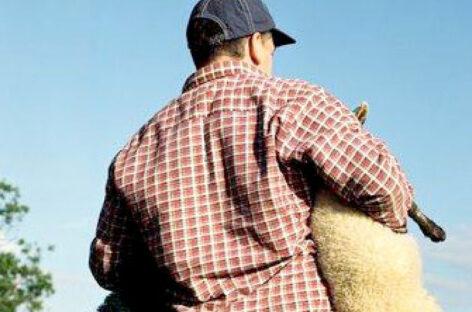 В Сальском районе с фермы украли 25 ягнят